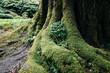 Tajemnicze stare drzewo daje schronienie małej roślince w omszałych konarach, korzeniach, pniach.