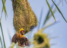 Weaver Bird On Her Nest