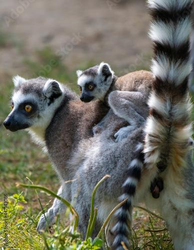 Fototapeta premium Lemur catta baby on the mother's back/Lemur catta baby and mother/Lemur Catta