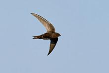 Common Swift (Apus Apus)