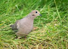Mourning Dove (Zenaida Macroura) Standing In Grass Eating Seeds.