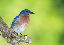 Eastern Bluebird (Sialia Sialis) Perched On A Tree Branch While Searching For Food For Newly Hatched Bluebird Chicks.