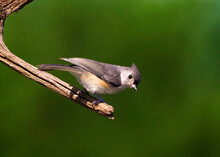 Tufted Titmouse ((Baeolophus Bicolor) Perched On A Tree Branch Searching For Seeds And Bugs.