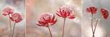 Fototapeta Kwiaty - Kwiaty Astrantia