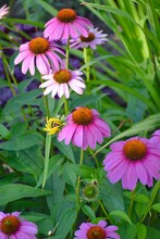 A Close Up Of Purple Cone Flowers