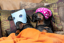 Two Lovely Dachshund Dogs In Funny Blindfolds Covering Their Eyes So The Light Does Not Annoy Them While Sleeping. Pet Lie On The Bed Under Blanket.