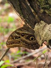 Caligo Illioneus Illioneus, The Giant Owl Butterfly, Forest In Costa Rica