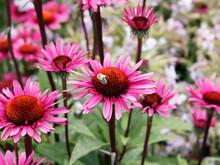 Echinacea Purpurea   Rudbeckie Ou Rudbeckia Pourpre 'Summer Cloud' à Ligules Rouge-pourpre Autour D'un Disque Brun Pourpré épineux Au Sommet De Tiges Teintées De Rouge