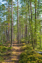 Footpath In A Sunny Pine Forest At The Summer