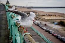 Seagull, Brighton, East Sussex, England, UK