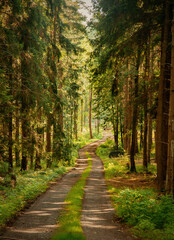dirt road through a pine forest in the Sudetes, Poland
