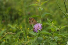Butterfly On A Purple Flower. Beautiful Wild Flowers Chamomile, Purple Wild Peas, Butterfly In Morning Haze In Nature Close-up Macro.