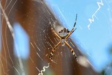 Silver Garden Spider, Silver Argiope, Argiope Argentata, On Her Web In San Diego California, USA