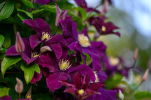 Close Up Of Beautiful Single Clematis Flower. Macro Photo Of The Nature In The Summer Garden, Texture Background.