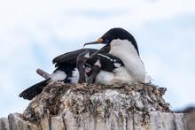 An Adult Antarctic Shag (Leucocarbo Bransfieldensis), Feeding Chicks On Wiencke Island