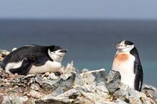 A Pair Of Chinstrap Penguins (Pygoscelis Antarcticus), On Robert Island, South Shetland Islands