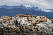 An Adult Male South American Sea Lion (Otaria Flavescens), Resting Amongst Adult Females Near Ushuaia, Argentina