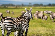 A Heard Of Zebra (Equus Quagga), Amboseli National Park, Kenya
