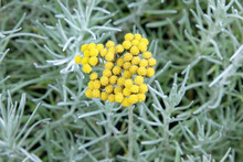 Curry Plant (Helichrysum Angustifolium) Herb
