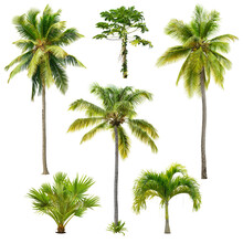 Set Of Palm Trees Isolated On White Background. Cut Out Palm Grove. Coconut Tree. High Quality Image For Professional Composition.
