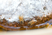 Two Bees Taking A Drink