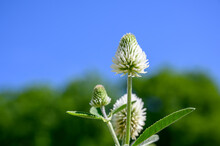 Trifolium Montanum, The Mountain Clover. Plant With White Flowers. Is Growing In Europe.