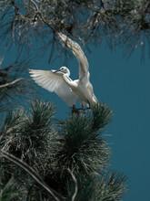 White Egret Flying Over Pine Trees