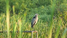 Great Blue Heron Perched On Dock Cattail Marsh Summer E USA