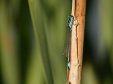Azure Damselfly (Coenagrion Puella) - Blue Damselfly On Brown Stick, Poland