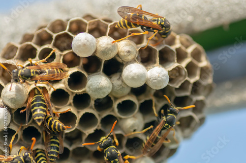 European wasp (Vespula germanica) building a nest to start a new colony in the greenhouse Fotobehang