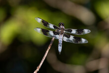 Eight Spotted Skimmer Dragonfly