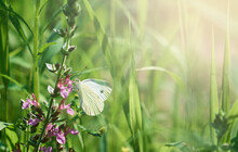 White Cabbage Butterfly On A Green Branch With Pink Flowers