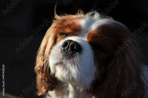 Fotografering Close up of a Blenheim Cavalier King Charles Spaniel Dog