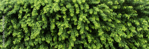 Nature green leaf background and textured, Leaves wall for backdrop, Green leaf Fototapet