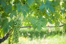 Old Dorona Vineyard Of Venice, A Native Venetian Grape