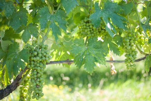 old Dorona vineyard of Venice, a native Venetian grape Fototapet