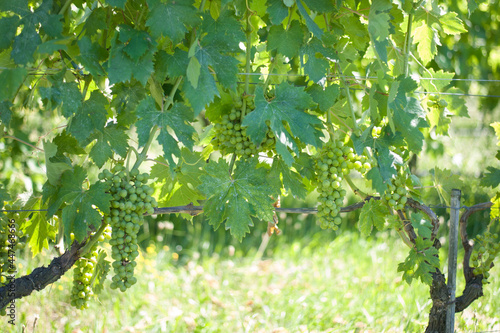 Canvastavla old Dorona vineyard of Venice, a native Venetian grape