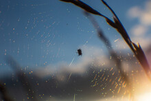 Cobweb With Water Droplets And A Spider Sitting In The Middle. The Stalk Of The Grass Is Nearby. Evening Sky. Sunset Time.