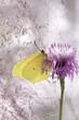 Motyl Latolistek Cytrynek na kwiatu Ostrożeń Polny