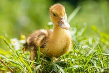 Little Ducklings In Green Grass