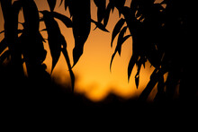 Tree And Silhouette In Sunset