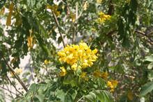 Tipa Or Rosewood (Tipuana Tipu) Tree In Full Bloom
