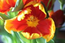 Close Up Orange Yellow Red Tulip Bloom Background Wallpaper