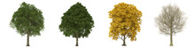 Green Trees Isolated On White Background. Field Maple Tree Matures In All Seasons. Acer Campestre Tree Isolated With Clipping Path 3D Illustration