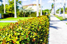 Hollywood, Florida Broward County City In North Miami Beach With Sidewalk By Houses Near The Beach And Foreground Of Red Ixora Bush Hedge Flowers
