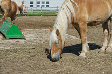 A Clydesdale Horse In A Pin