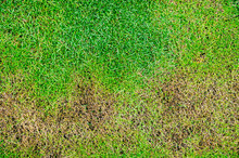 The Texture Of Dead Grass Top View Wallpaper Nature Background Texture Green And Yellow Grass Texture The Lack Of Lawn Care And Maintenance Until The Damage Pests And Disease Field In Bad Condition.