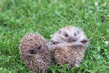 Two Small Hedgehogs Curled Up In A Ball On The Grass