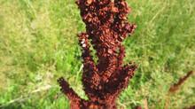 A Perennial Herbaceous Plant Sorghum