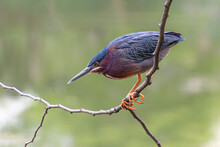 Colorful Green Heron (Butorides Virescens) Perches On A Branch Hanging Over A Pond